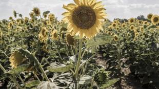 sunflower-seed-cycling